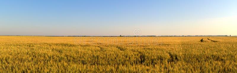 Ideia do verão do campo infinito do centeio nos raios do sol da manhã imagens de stock royalty free