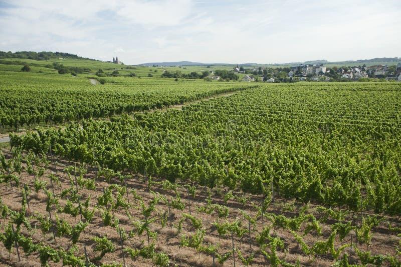 Ideia do vinhedo do panorama do cenário de rhine em Alemanha fotografia de stock