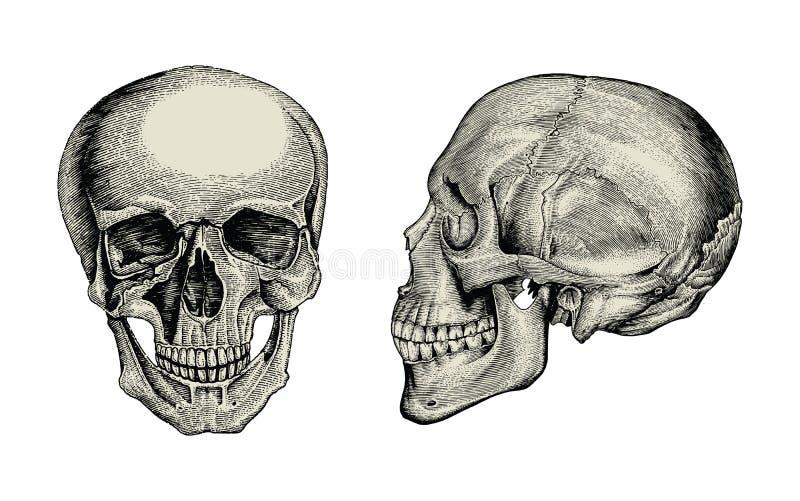 Ideia do vintage do desenho da mão do crânio da anatomia, a lateral e a dianteira do zumbido ilustração do vetor