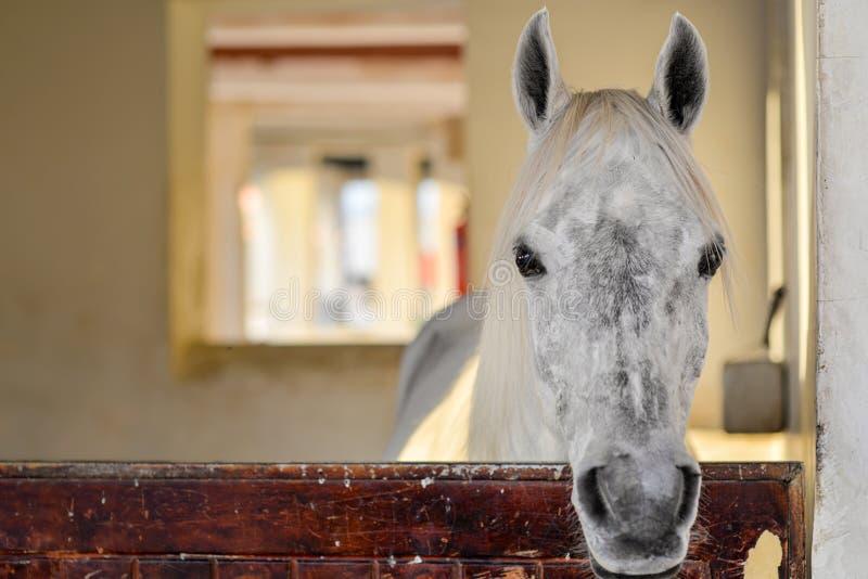 Ideia frontal de uma cabeça de um cavalo branco e cinzento tomado no souq velho de Doha fotos de stock royalty free