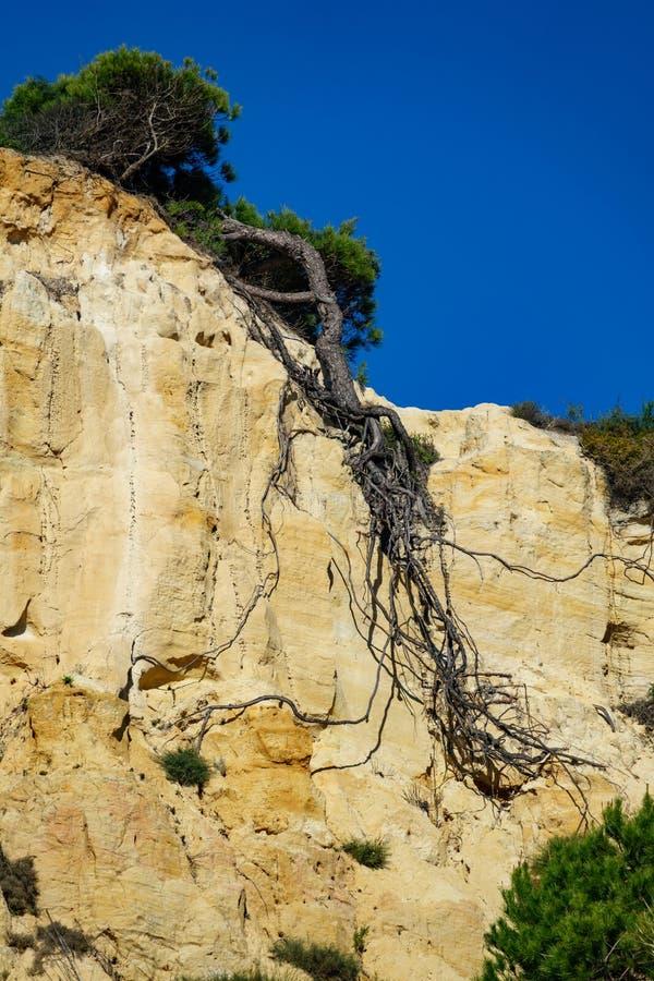Ideia inferior de raizes do pinheiro após o landside, composição vertical imagem de stock royalty free