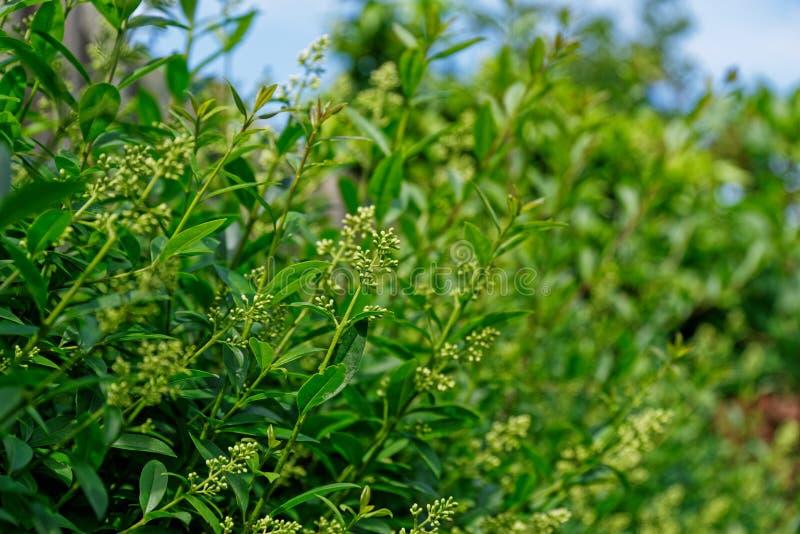 Ideia lateral de ramos da conversão do alfeneiro, planta do ligustrum foto de stock