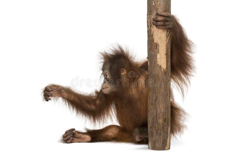 Ideia lateral de um assento novo do orangotango de Bornean, terra arrendada a um tronco de árvore fotografia de stock royalty free