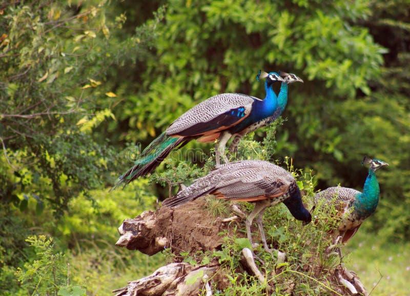 Ideia lateral de um grupo do cristatus masculino do Pavo de quatro peafowls que senta-se no tronco de uma árvore em Yala NP, Sri  fotos de stock royalty free
