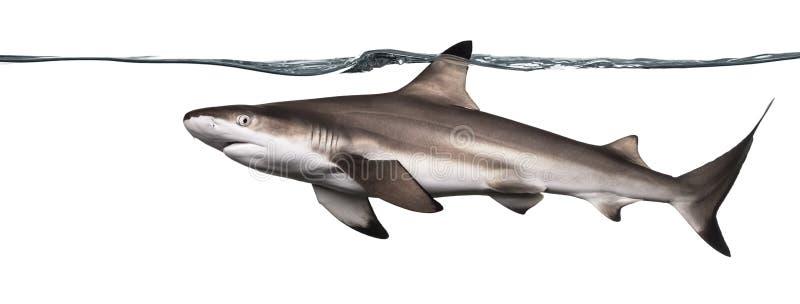 Ideia lateral de uma natação do tubarão do recife de Blacktip fotografia de stock royalty free