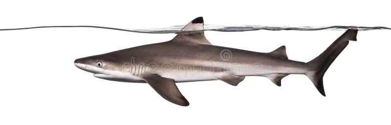 Ideia lateral de uma natação do tubarão do recife de Blacktip na superfície fotos de stock