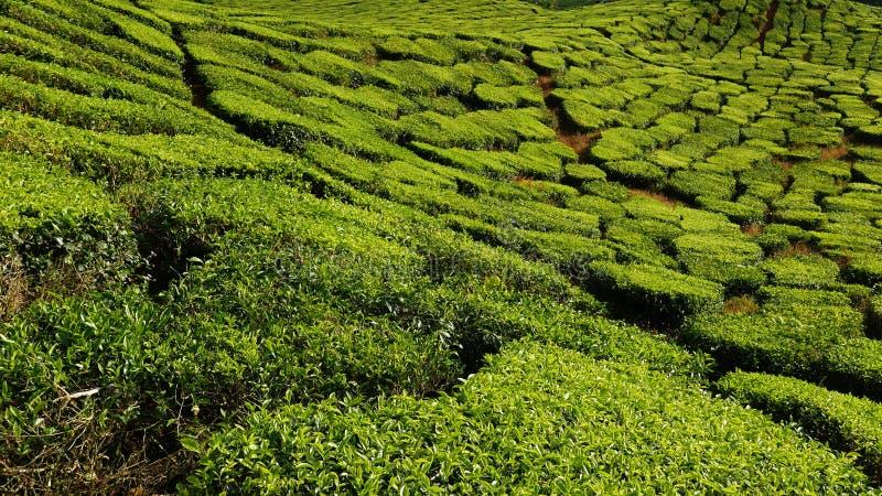Ideia majestosa da paisagem da plantação de chá de Cameron Highlands Pahang Malaysia Fundo ou contexto da natureza ou da agricult imagem de stock