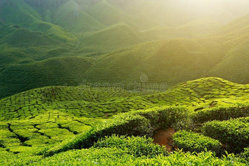 Ideia majestosa da paisagem da plantação de chá de Cameron Highlands Pahang Malaysia Fundo ou contexto da natureza ou da agricult fotografia de stock royalty free