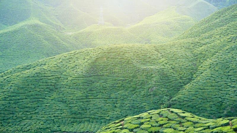 Ideia majestosa da paisagem da plantação de chá de Cameron Highlands Pahang Malaysia Fundo ou contexto da natureza ou da agricult foto de stock royalty free