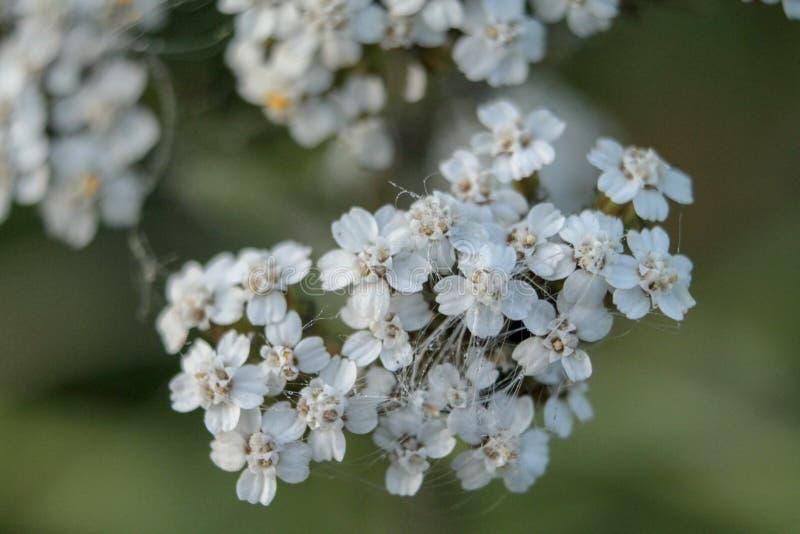 Ideia próxima de um grupo de flores brancas pequenas foto de stock royalty free