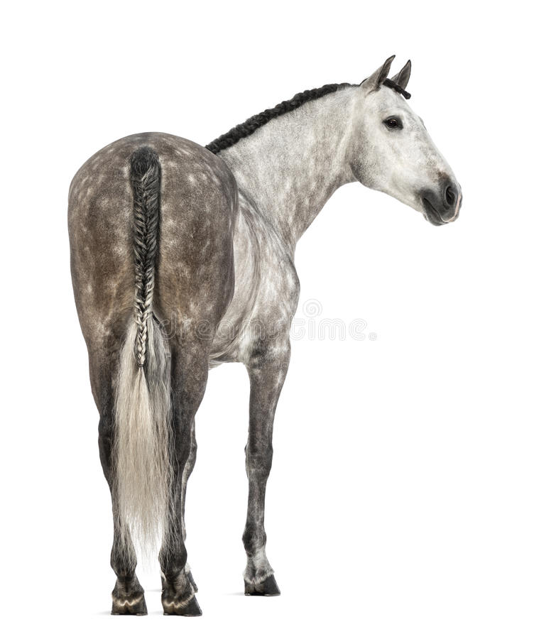 Ideia traseira de um Andalusian, de 7 anos velhos, olhando direitos, igualmente conhecidos como o cavalo espanhol puro ou PRE imagens de stock