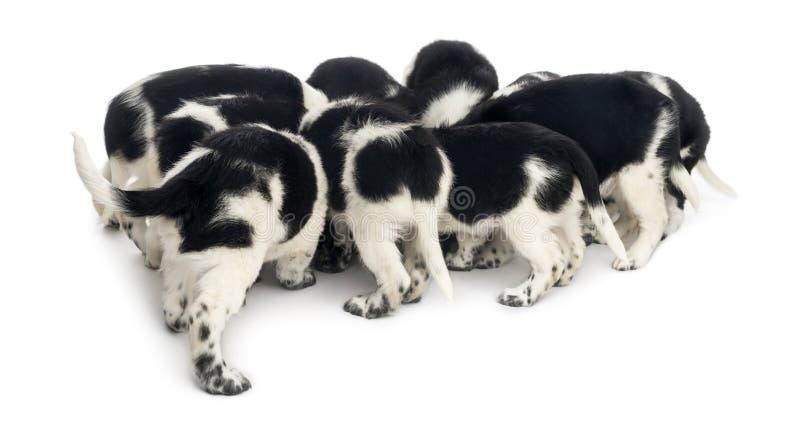 Ideia traseira de um grupo de comer dos cachorrinhos de Stabyhoun, fotografia de stock royalty free