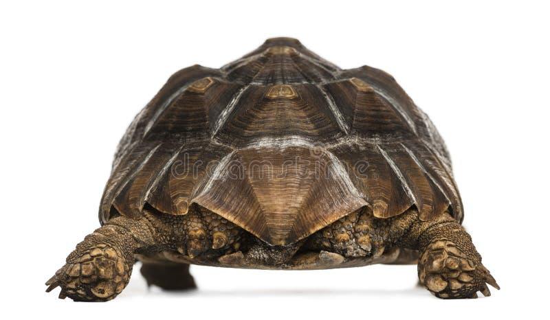 Ideia traseira de uma posição Spurred africana da tartaruga imagem de stock