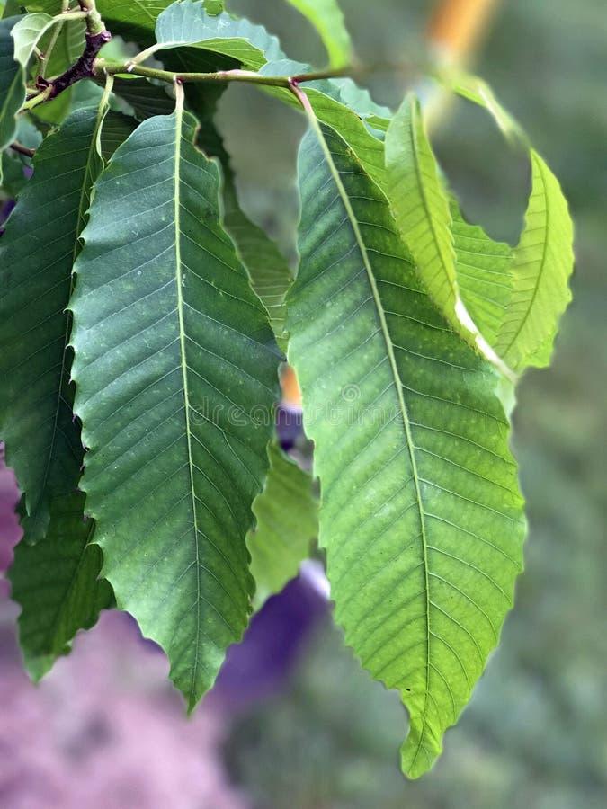 Identificação da árvore: Folha da árvore de castanha americana fotos de stock royalty free