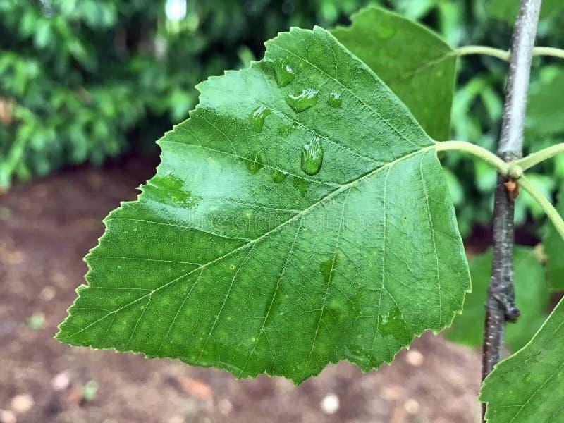 Identification d'arbre : Feuille d'arbre de bouleau de rivière image stock