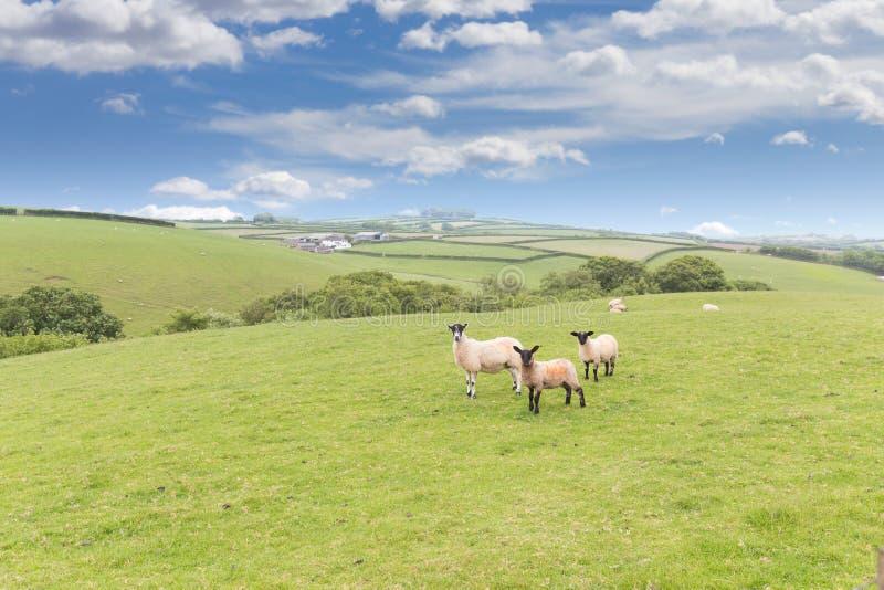 Idillic landskapfår, lamm, RAM på grönt gräs arkivbilder