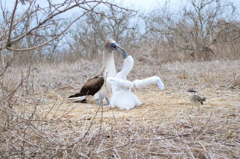 Idiot aux pieds bleu (nebouxi de Sula) photos libres de droits