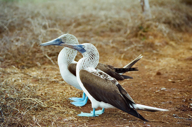 Idiots aux pieds bleus de Galapagos