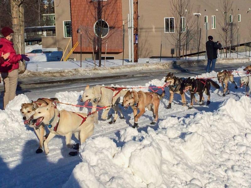 Iditarod拉雪橇狗赛跑在安克雷奇阿拉斯加 免版税库存照片