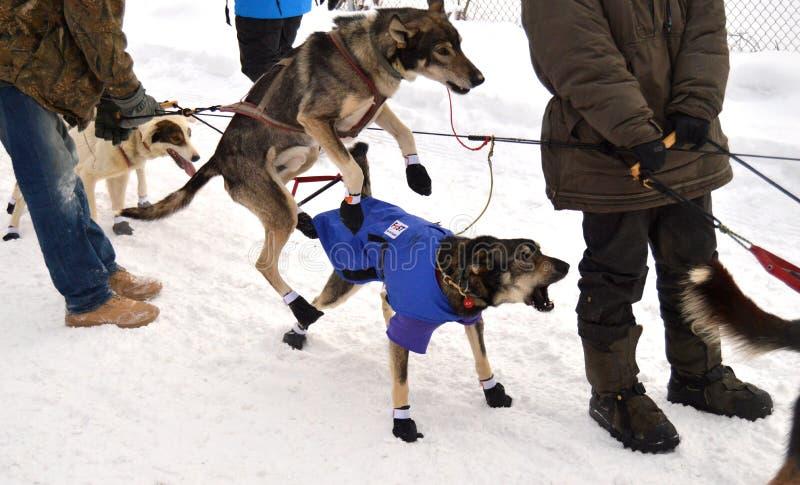 Iditarod 2015 royalty-vrije stock afbeelding