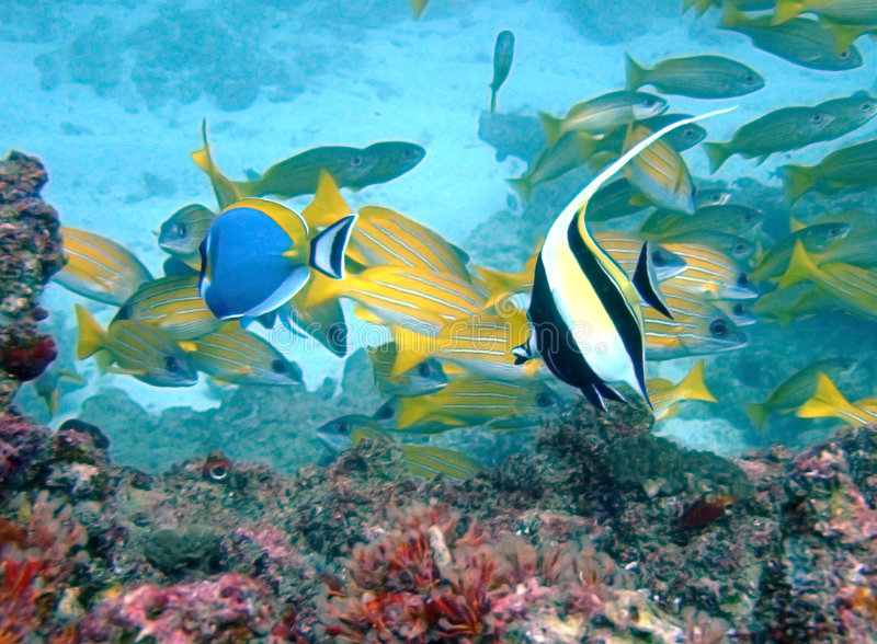 Idol and surgeon fish. Moorish Idol and Powderblue Surgeon fish swimming on a colourful reef in Mozambique stock images