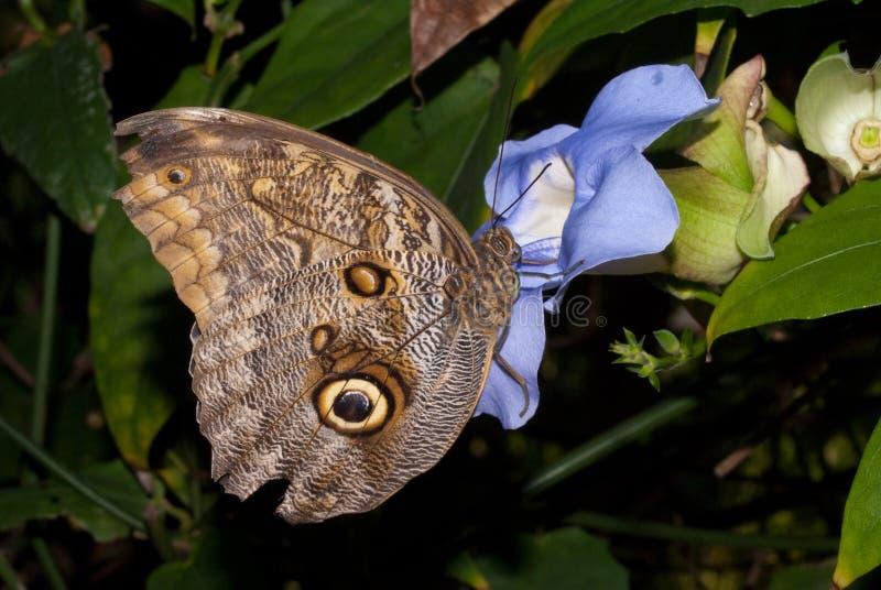 Download Idomeneus Giant Owl (Caligo Idomeneus) Stock Photo - Image of wildlife, rainforest: 11195088