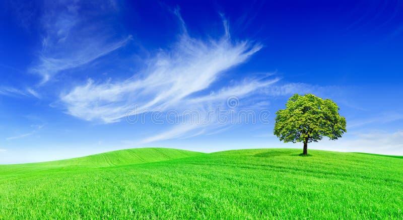 Idyll panorama- landskap, ensamt träd bland gröna fält royaltyfria bilder