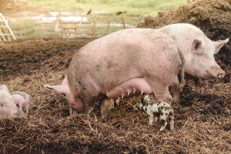 idylle rurale de famille avec des porcs photographie stock libre de droits