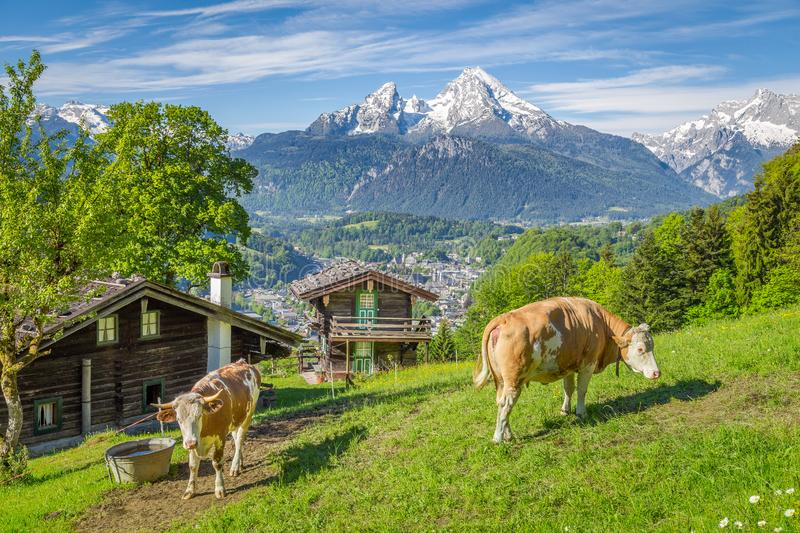Idyllic alpine scenery with mountain chalets and cows grazing on green meadows in springtime. Beautiful panoramic view of idyllic alpine scenery with traditional stock image