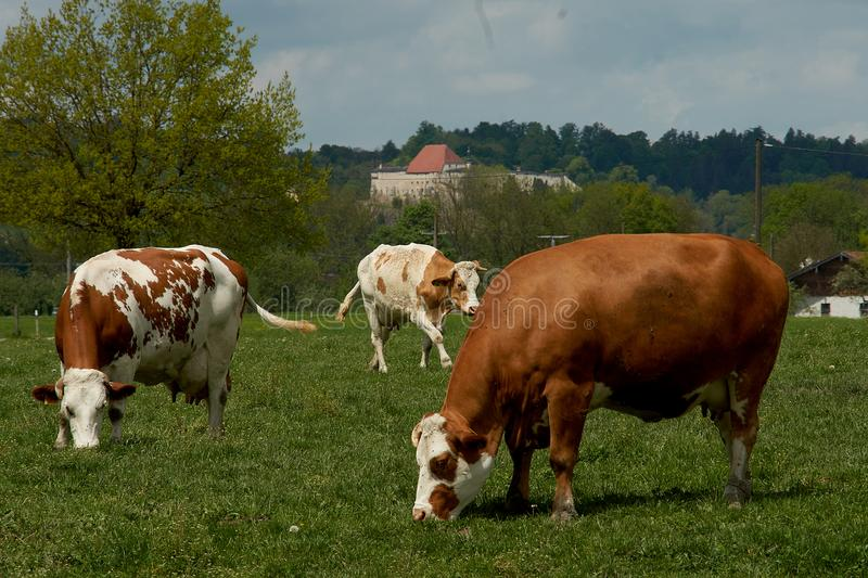 Idyllic landscape in front of the Alps with cows. Grazing in fresh green meadows between blooming flowers, typical farmhouses and snowcapped mountain tops royalty free stock photography