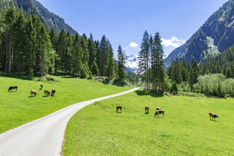 Idyllic mountain landscape with cows grazing in the Alps. Austria, Tyrol royalty free stock photos