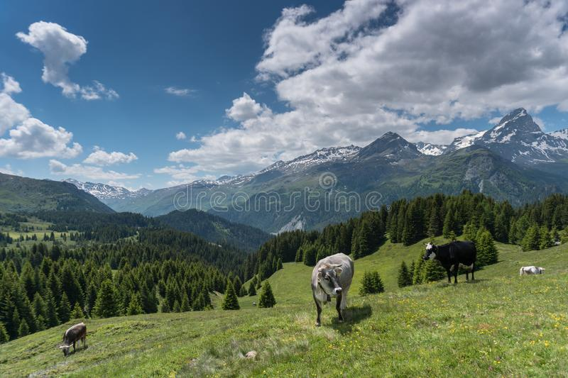 Idyllic mountain landscape in the summertime with cows and snow-capped mountains in the background. An idyllic mountain landscape in the summertime with cows and stock photo