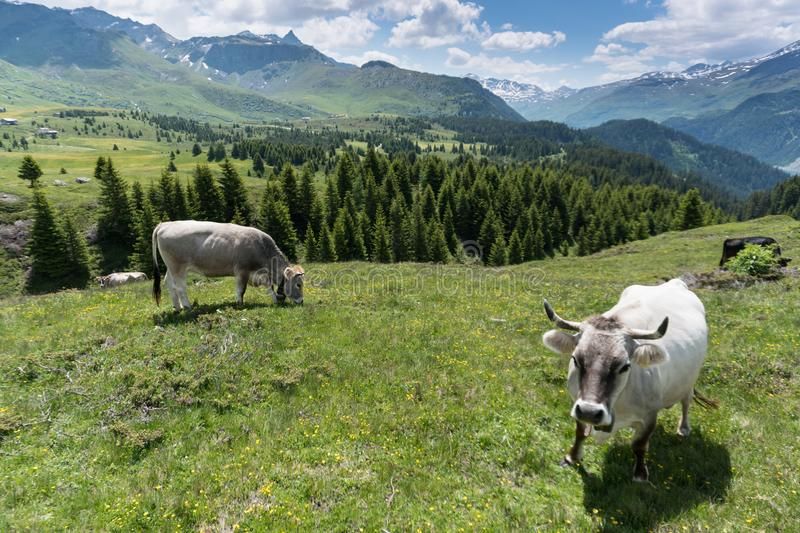Idyllic mountain landscape in the summertime with cows and snow-capped mountains in the background. An idyllic mountain landscape in the summertime with cows and royalty free stock photo