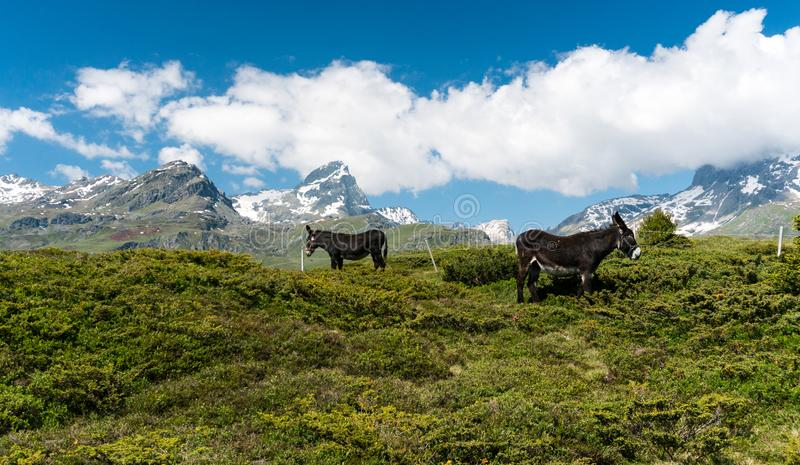 Idyllic mountain landscape in the summertime with two donkeys and snow-capped mountains in the background. An idyllic mountain landscape in the summertime with royalty free stock photo