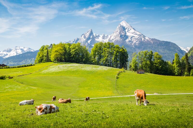 Idyllic summer landscape in the Alps with cows grazing royalty free stock photos