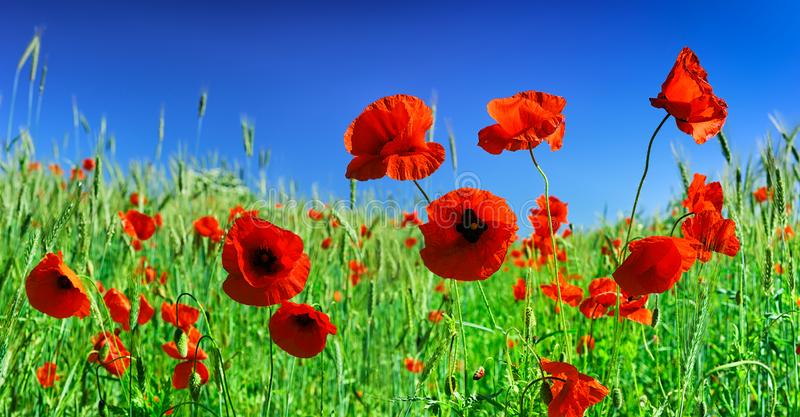 Idyllic view, meadow with red poppies. Close-up, field full of beautiful red poppies, blue sky in the background royalty free stock photography