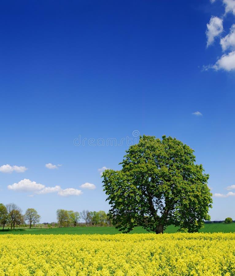 Idylliczny krajobraz, osamotniony cisawy drzewo wśród gwałtów poly zdjęcie stock