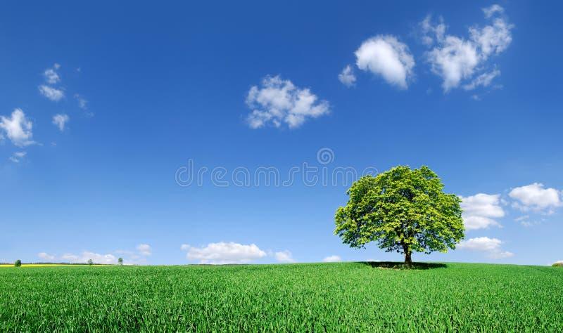 Idylliczny krajobraz, osamotniony drzewo wśród zielonych poly zdjęcie royalty free
