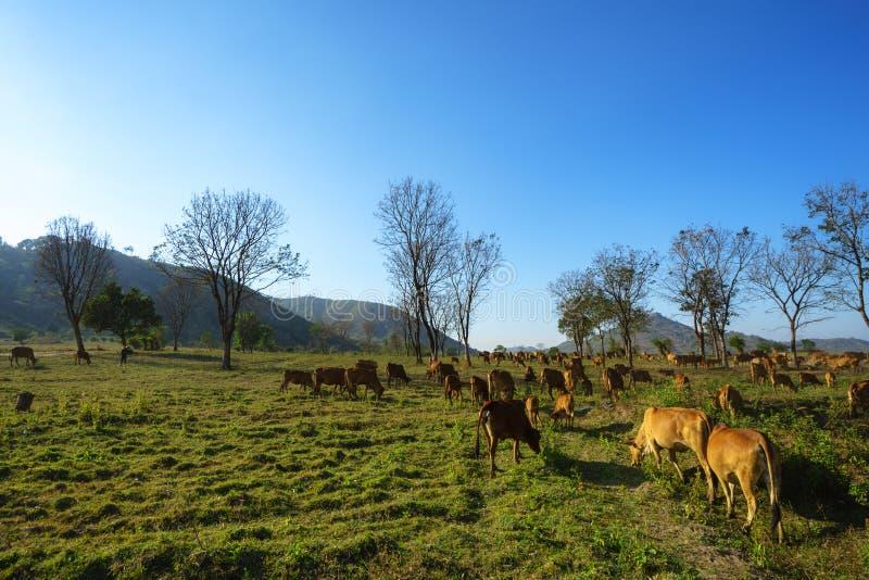 Idylliczny lato krajobraz z krowami w trawy polu w Środkowych średniogórzach Wietnam obrazy royalty free