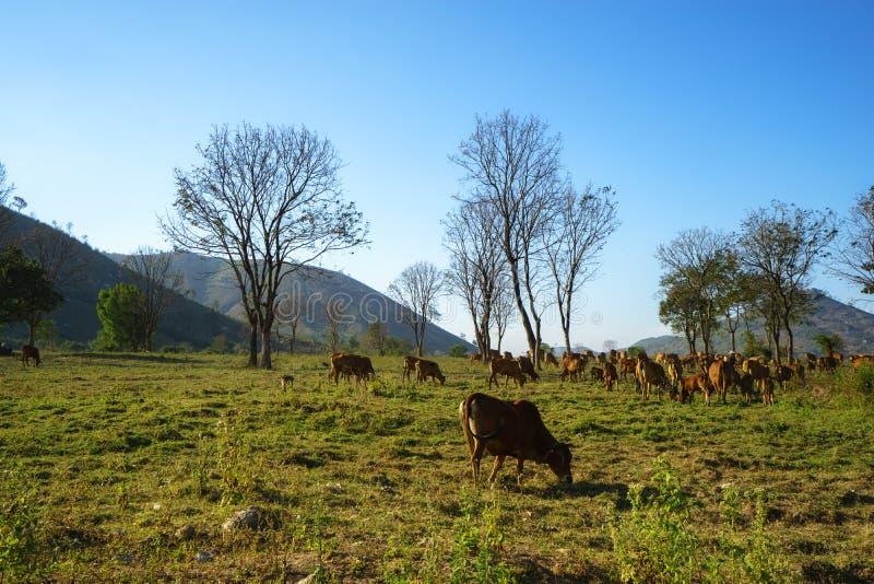 Idylliczny lato krajobraz z krowami w trawy polu w Środkowych średniogórzach Wietnam obraz stock