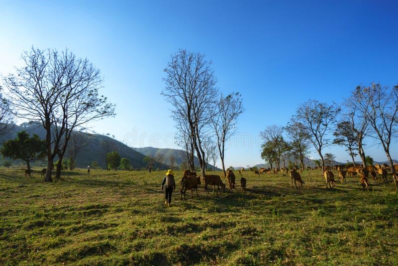 Idylliczny lato krajobraz z krowami w trawy polu w Środkowych średniogórzach Wietnam zdjęcia royalty free