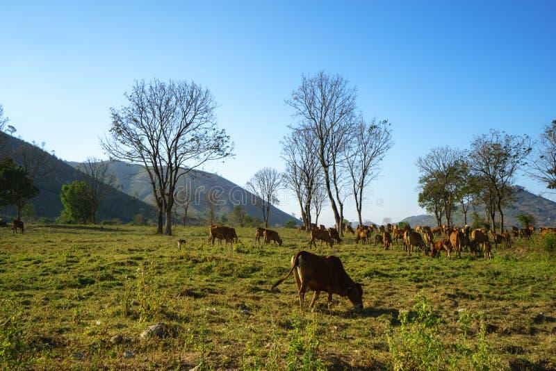 Idyllisch de zomerlandschap met koeien op grasgebied in Centrale Hooglanden van Vietnam royalty-vrije stock foto's