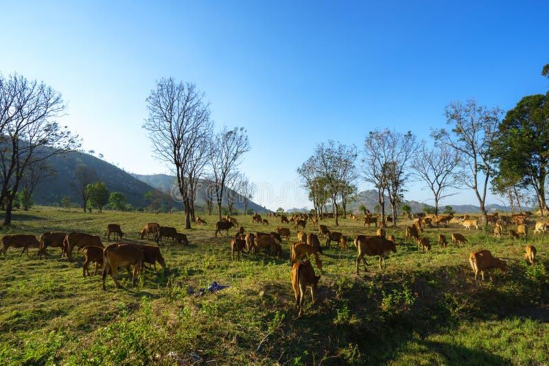 Idyllisch de zomerlandschap met koeien op grasgebied in Centrale Hooglanden van Vietnam royalty-vrije stock fotografie
