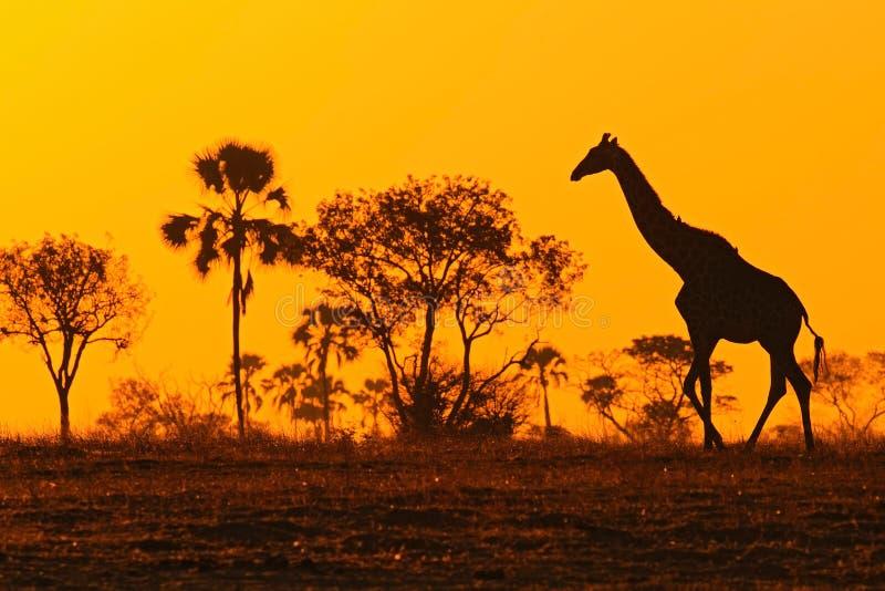 Idyllisch girafsilhouet met avond oranje zonsondergang en bomen, Botswana, Afrika stock foto's