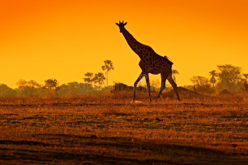 Idyllisch girafsilhouet met licht van de avond het oranje zonsondergang, Botswana, Afrika Dier in de aardhabitat, met bomen royalty-vrije stock afbeelding