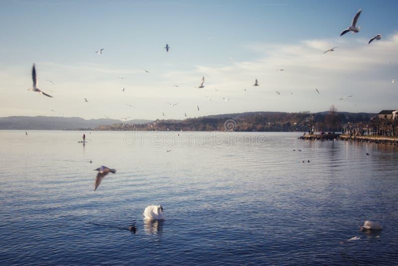 Idyllisch landschap met watervogels bij het meer in Rapperswil Zwitserland stock fotografie