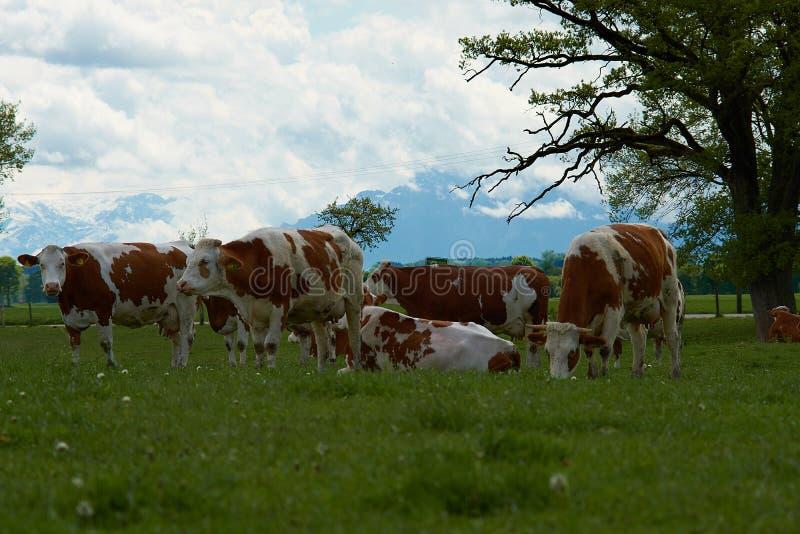 Idyllisch landschap voor de Alpen met koeien stock afbeelding