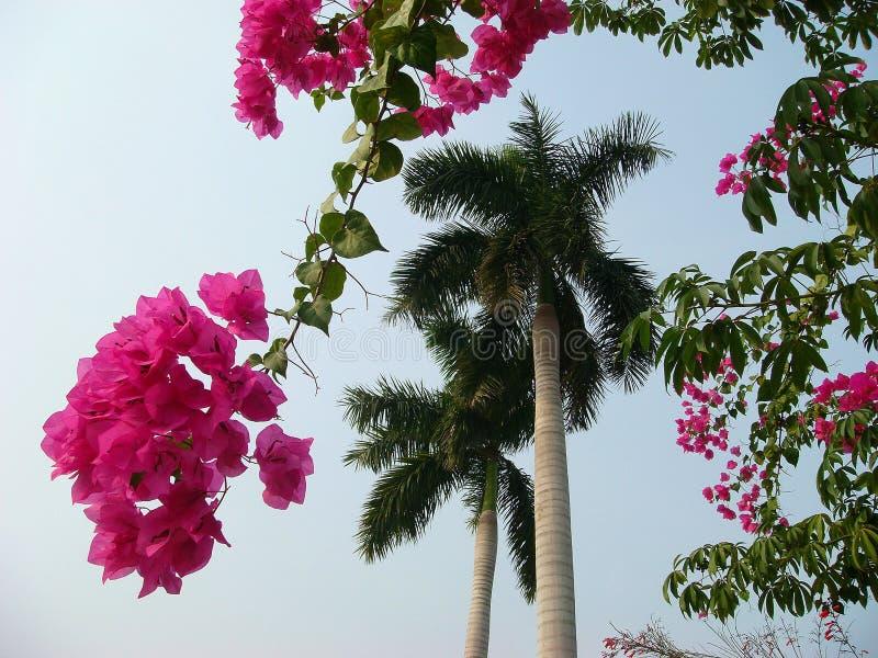Idyllisch tropisch beeld Takken van mooie levendige bougainvillea, palm, blauwe hemel Het genoegen van het conceptenparadijs stock afbeelding