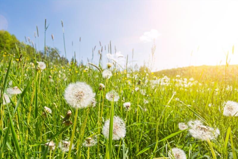 Idyllische bloemweide met blowballbloemen, toneelzonnestralen en lensgloed royalty-vrije stock afbeelding