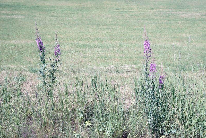 Idyllische het bloeien purpere wildflowers met zonneschijn in landelijk landschap met landbouwlandbouwgrondgebied op de achtergro stock foto